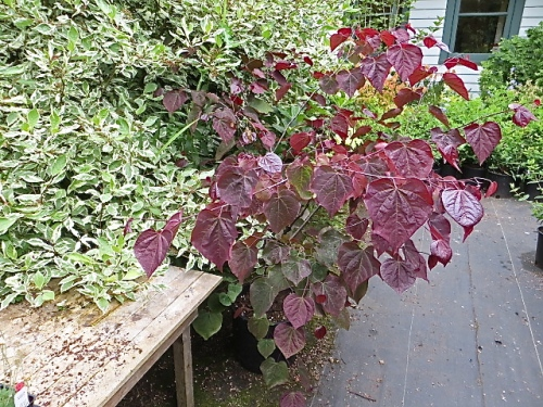 I wish I had bought this Cercis 'Forest Pansy'; had one in my old garden, which was, I think, too boggy and sent it into a fatal decline.