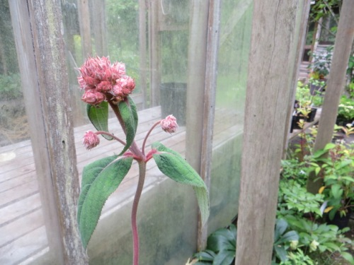 Hydrangea aspera: has been on my acquisition list for years; had a very small one that got a ladder set on top of it and did not survive.