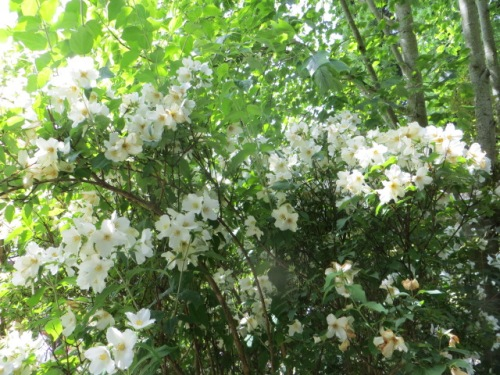 Heady fragrance emanated from the mock orange.