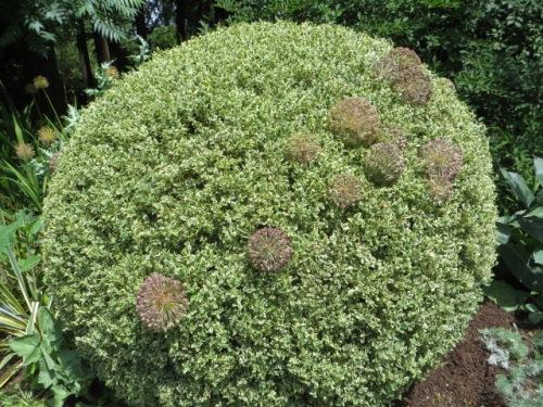 an Alllum shrub