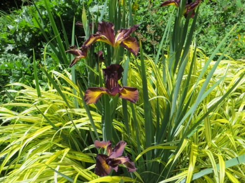 bronzy iris