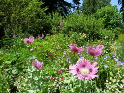 poppies all agleam in the warm sun