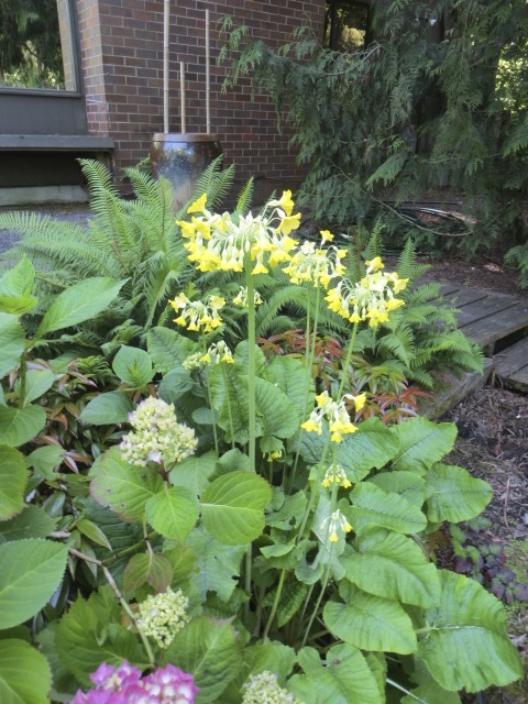 I've grown this primula, but it took another tour guest to show me that the flowers are sweetly fragrant.