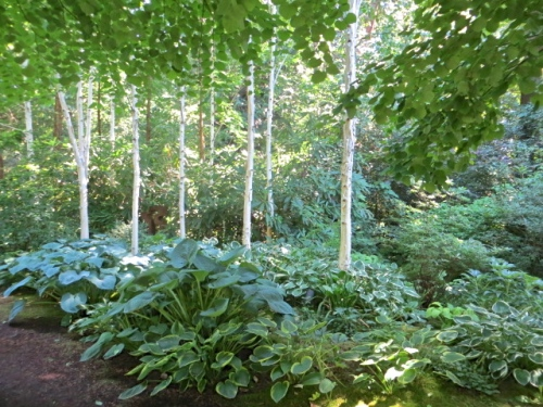 an artistic grove of white birch underlaid with white edged hostas