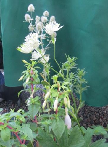 an Astrantia, a Fuchsia, an Eryngium