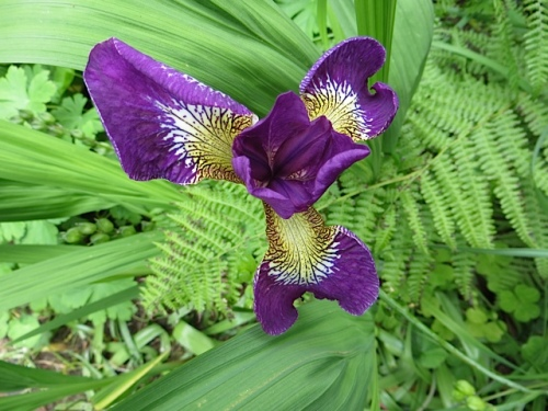 a Siberian iris