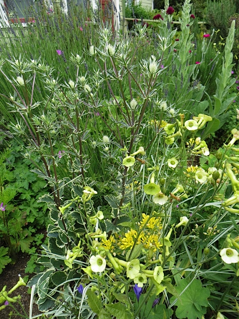 This Eryngium 'Jade Frost' (with chartreuse bells of Nicotiana langsdorfii) still has not coloured up.