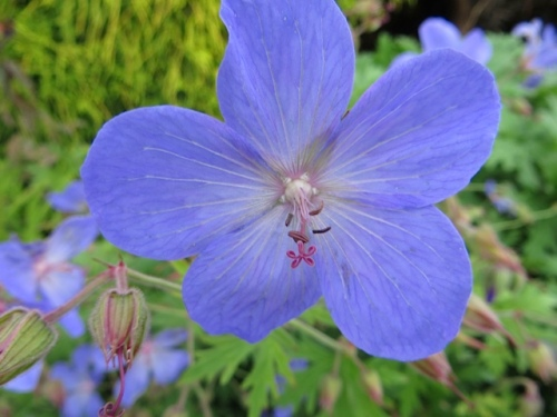 I think this is Johnson's, a once blooming blue hardy geranium...