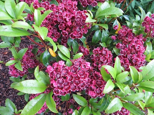 another Kalmia: such precise flowers