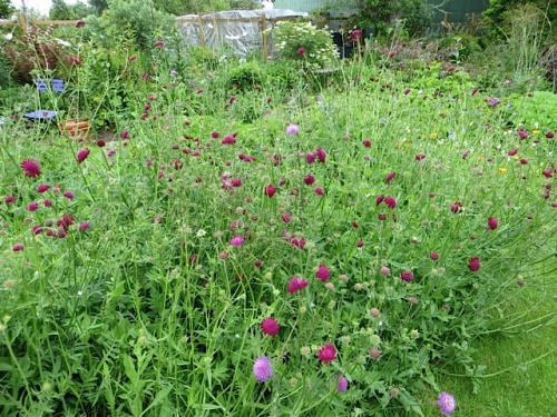 I tried to stop the Knautia macedonica from making such a large patch in the center garden.  Got busy and it got away from me.