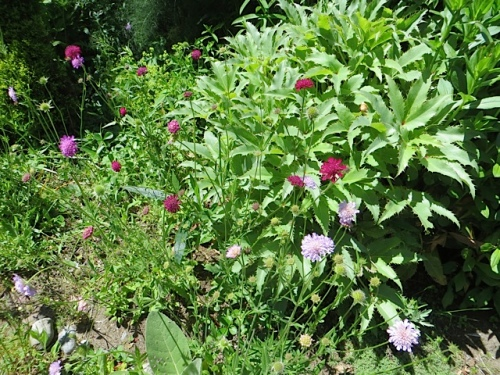Knautia macedonica and blue scabiosa