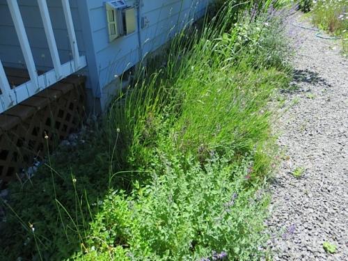lavender (not quite in bloom)