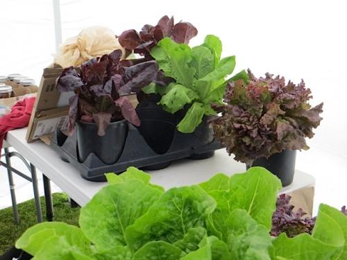 lettuce from Blue Coast Farms