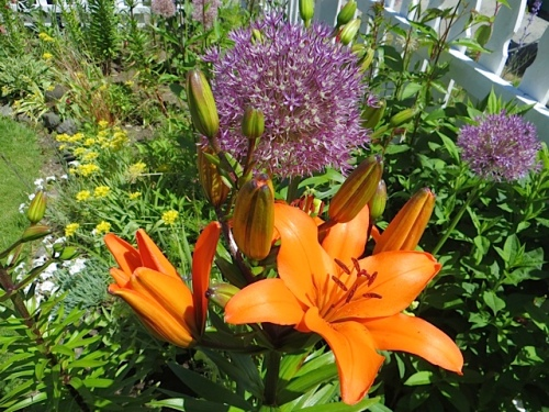 glistening, with Allium 'Purple Sensation'
