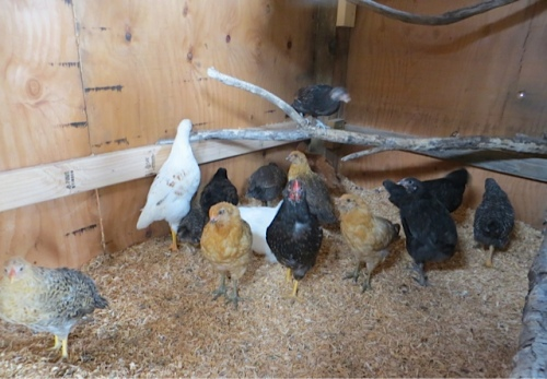 They all went into the wooden shelter.  Marla thinks the black one, front and center, is a rooster.