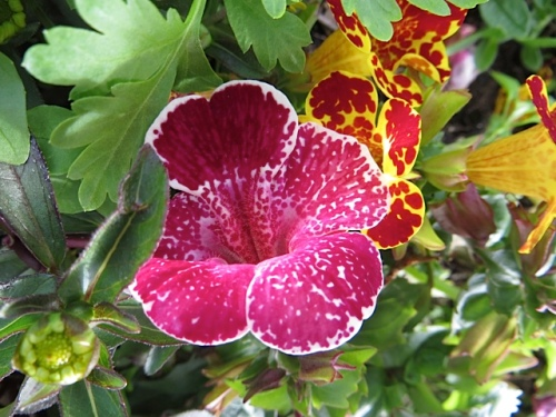 Mimulus: monkey flower