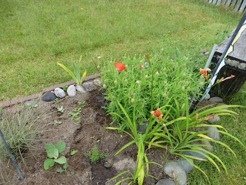 I moved it to join some ornamental grasses; right now it is hidden behind these poppies on a bed along the north side of the yard.