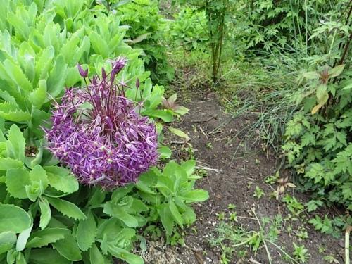 something unusual with one of the Allium albopilosum!