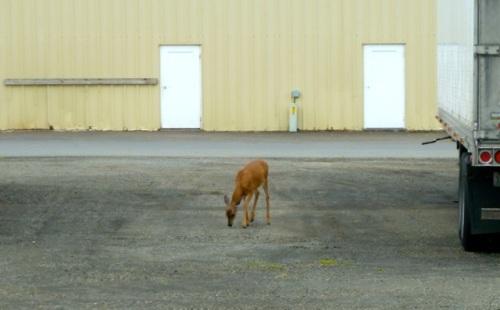 Another little fawn followed along a bit later.
