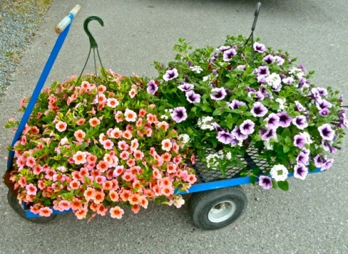 Allan's photo: hanging baskets were $42.99