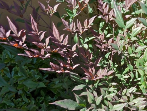 """Allan's photo of Nandina ('Plum Passion""""?) foliage against the stucco wall"""