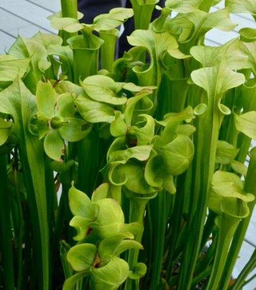 Allan's photo of the excellent stand of pitcher plants (one of the best I have seen in a garden)