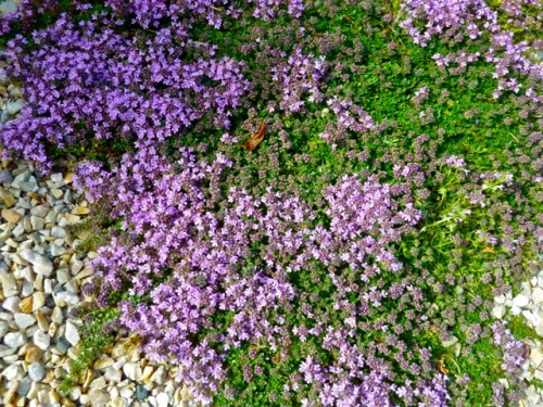 Allan's photo of thyme on the patio