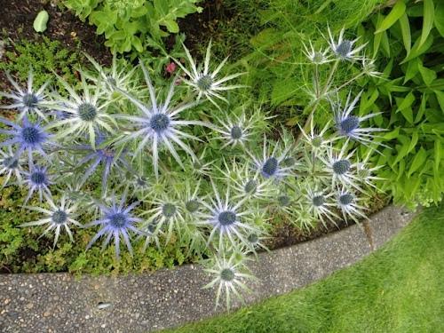 more Eryngium 'Sapphire Blue'