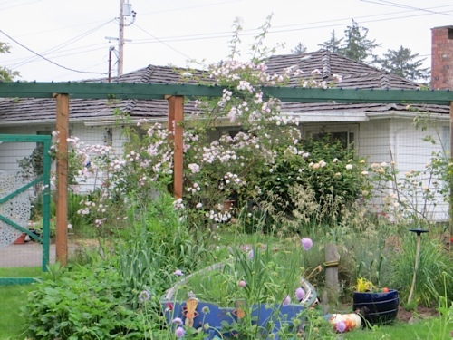 Paul's Himalayan Musk rose, with Nora's house