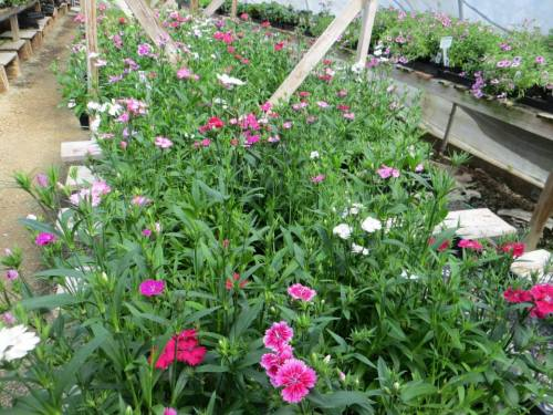 This selection of slightly tender dianthus in one of the annuals houses often comes back the next year.