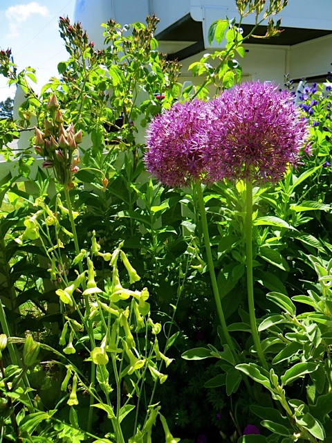 Seedhead of Allium bulgaricum, Nicotiani langsdorfii (chartreuse bells), Allium 'Purple Sensation'