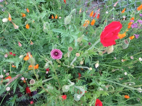 a melange of poppies