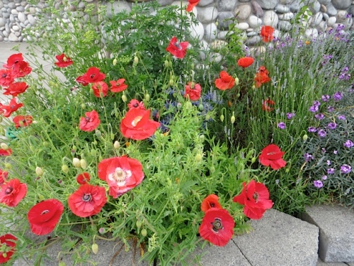 Papaver rhoeas (corn poppy, Flanders Field poppy)