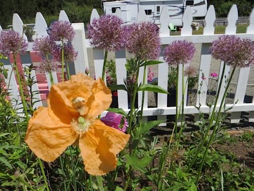 lovely perennial poppy from Joy Creek nursery (have forgotten its name)