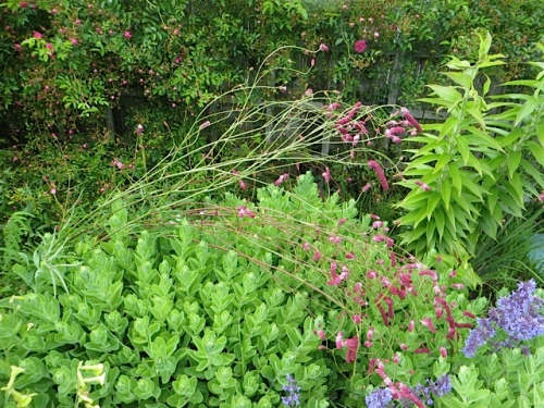 Sanguisorba 'Pink Elephant' tends to get very tall and fall over.