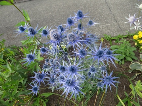 and Eryngium 'Sapphire Blue', my favourite perennial.