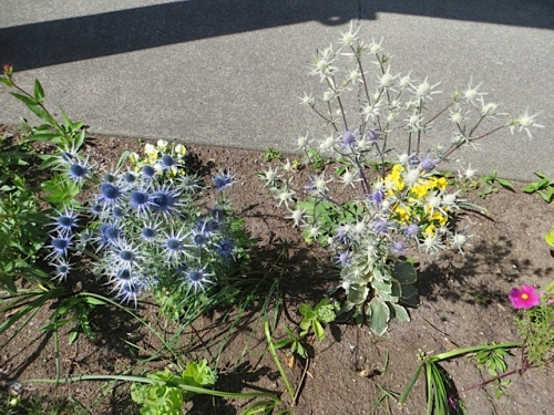 Eryngium 'Sapphire Blue' and 'Jade Frost' in that park garden bed