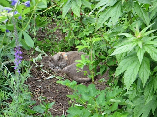 Smoky likes the little hollow in the middle of the garden where I dug a  not so good rose out awhile back.