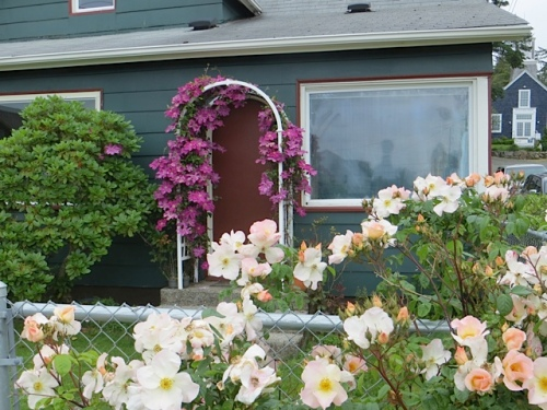 On Spruce and Williams, a house for sale has such a pretty rose and clematis.
