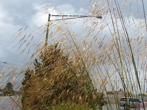 Stipa gigantea (my favourite ornamental grass) against a brightening sky.