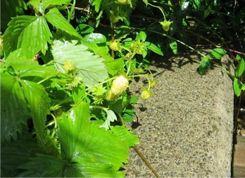 little white strawberries