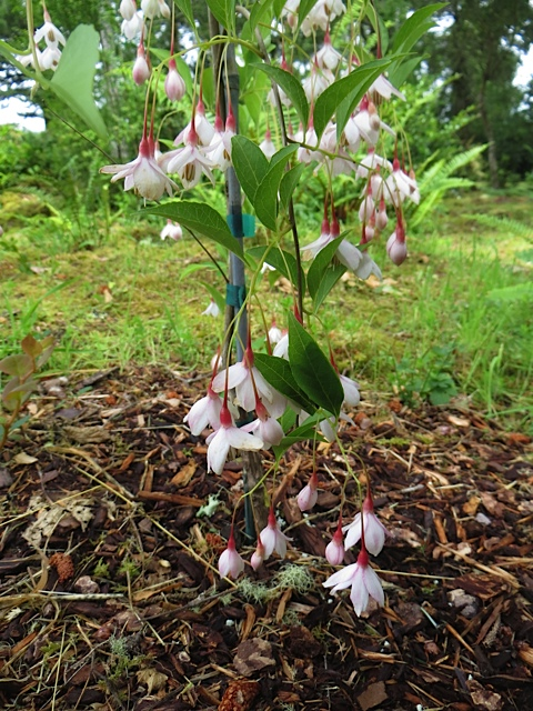 Styrax japonicus 'Momo shidare' Weeping Pink Japanese Snowbell