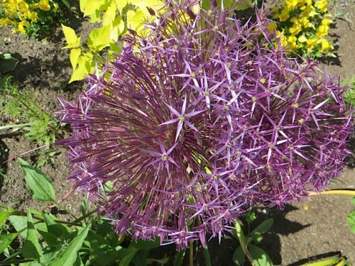 Three allium albopilsoum twined together