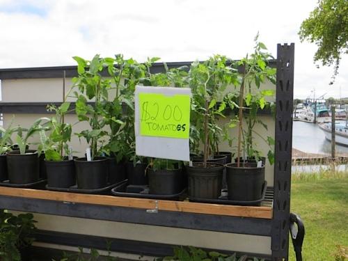 bargain tomato plants