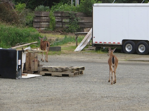 two deer.  The boatyard is another of our deer resistant gardens.