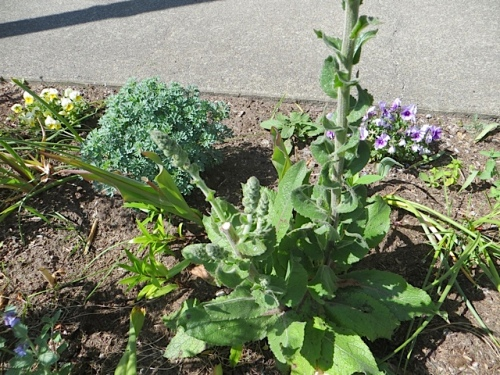 I was pleased to see that where someone picked the verbascum stalk a little while back, new buds have formed.