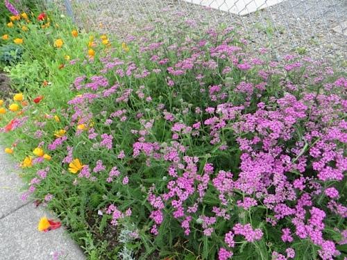 boatyard garden, pink yarrow