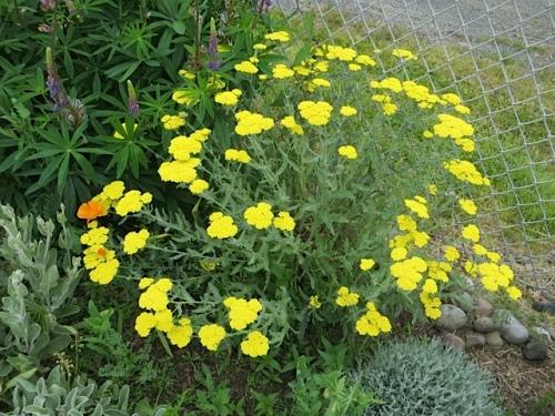 yellow Achillea