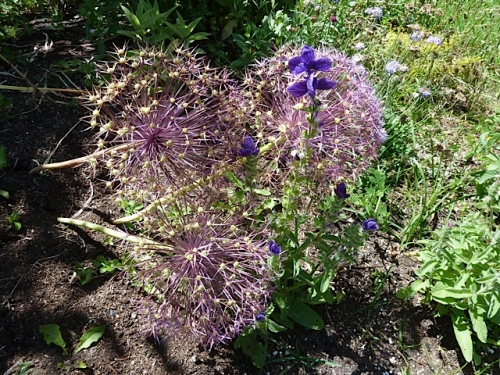 alliums in the flower garden we made there