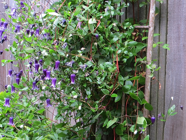 lovely clematis